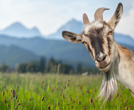 Photo pour Goat portrait on a green summer meadow and mountains background - image libre de droit