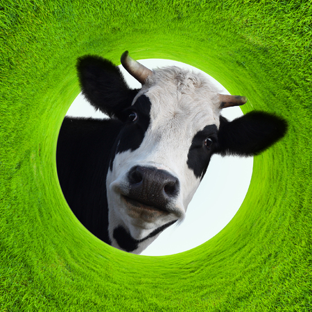 Photo pour Happy smiling funny cow in a frame of a green lush grass - image libre de droit