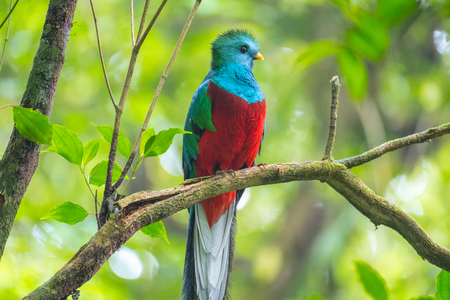 Photo pour Male of resplendent quetzal (Pharomachrus mocinno) sits on the tree branch in the forest of Monteverde National Park, Costa Rica - image libre de droit