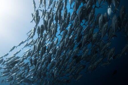 Photo pour School of fish in the sea - image libre de droit