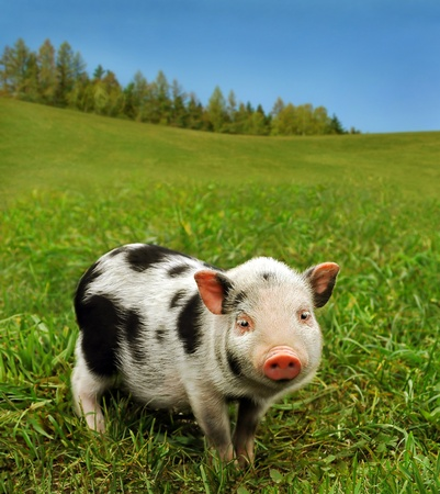 Cute piglet on spring meadowの写真素材