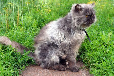 gray shaggy persian cat on grass