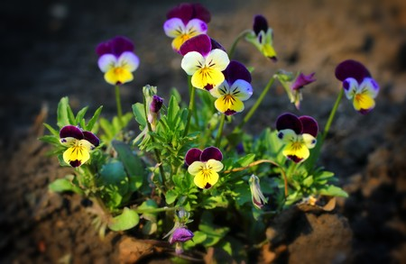 small pansy flowers - viola tricolor close-up