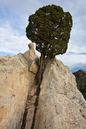 Tree On White Rock in Garden Of The Gods.