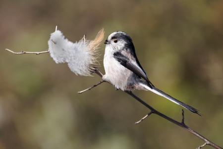 Photo pour Long-tailed tit, Aegithalos caudatus, single bird collecting feathers, Warwickshire, March 2012 - image libre de droit