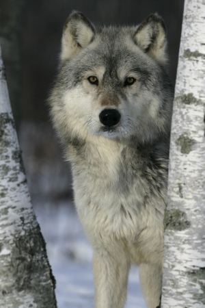 Grey wolf, Canis lupus, single mammal head shot, captive