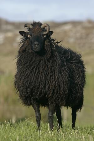 Hebridean black sheep, single sheep on Coll, Hebrides, Scotland