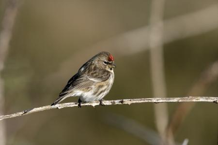 Lesser redpoll,Carduelis cabaret, single bird on branch, Coll, Hebrides, Scotland