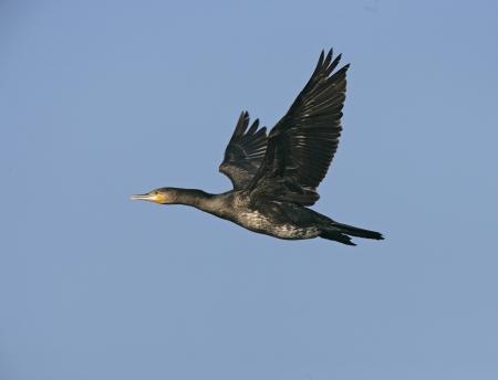 Great cormorant, Phalacrocorax carbo, single bird in flight