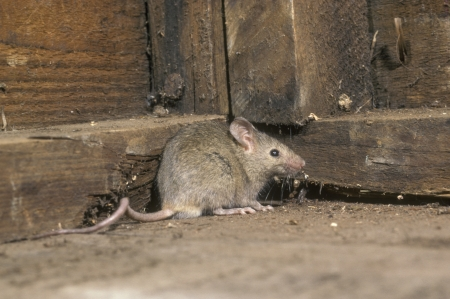 House mouse, Mus musculus, single mammal in shed, UK