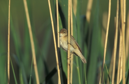 Reed warbler, Acrocephalus scirpaceus, single bird on branch, UK