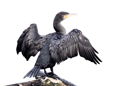 Cormorant, Phalacrocorax carbo, single bird perched on branch with wings spread for drying, Midlands, September 2010