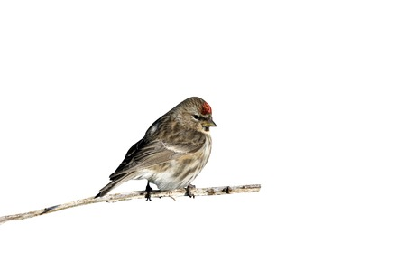Lesser redpoll, Carduelis cabaret, single male on branch,       