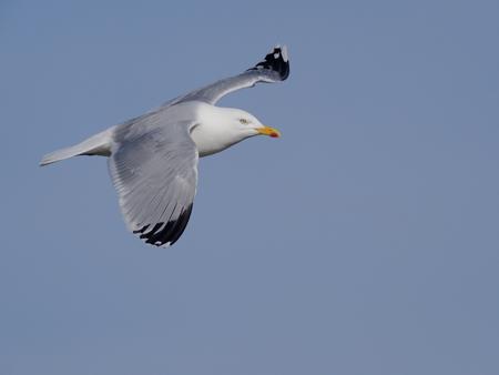 Photo for Herring gull, Larus argentatus, single bird in flight. Norfolk, - Royalty Free Image