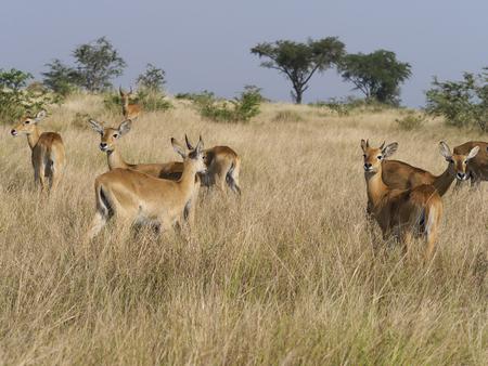 Uganda kob, Kobus kob thomasi, Group on grass, Uganda, August 2018