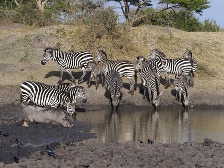 Burchells zebra, Equus burchelli, group at water, Uganda, August 2018