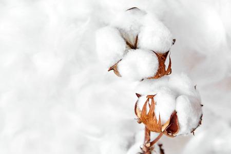 Photo pour branch of white cotton flowers - image libre de droit