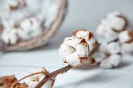 Foto de A branch of soft cotton flowers is lying on a white wooden table - Imagen libre de derechos