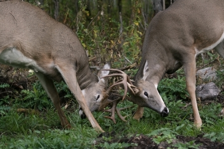 male white tail deer fighting