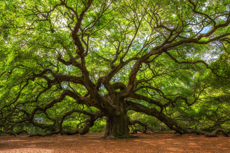 Foto de The massive and old Angel Oak Tree in South Carolina - Imagen libre de derechos