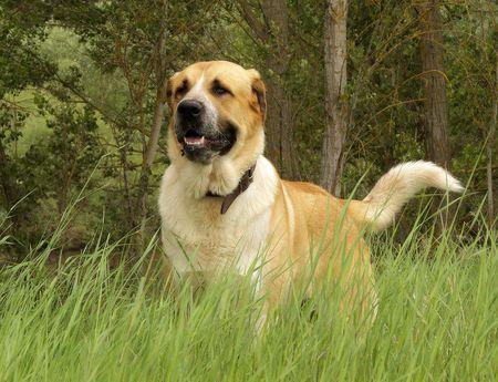 Mastin Español.Un representante de una magnifica raza canina.