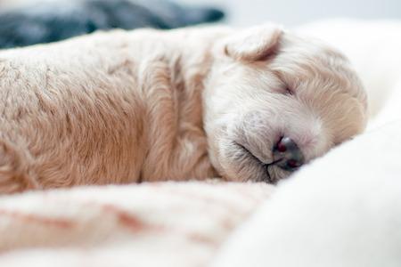 newborn puppy of beige color sweetly asleep