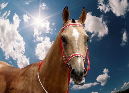 The  akhal-teke stallion Asparuh Han. Hippodrome in city Pyatigorsk, Northern Caucasus,Russia.