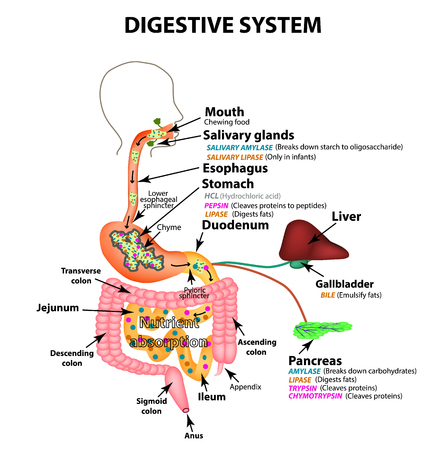 Illustration pour The human digestive system. Anatomical structure. Digestion of carbohydrates, fats and proteins. Enzymes of the gastrointestinal tract, pancreas, liver, gallbladder. Metabolism. Infographics. Vector - image libre de droit