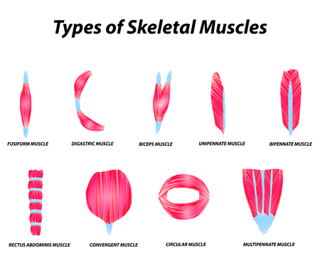 Illustration pour The anatomical structure of skeletal muscles. Infographic. Vector illustration on isolated background - image libre de droit