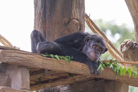 Small chimpanzee monkey relax on the tree.