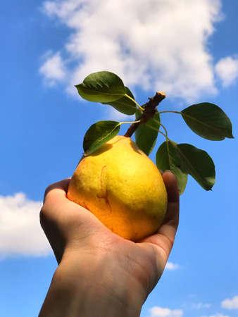 Foto für Yellow ripe fresh juicy pear with green leaves in woman hand - Lizenzfreies Bild