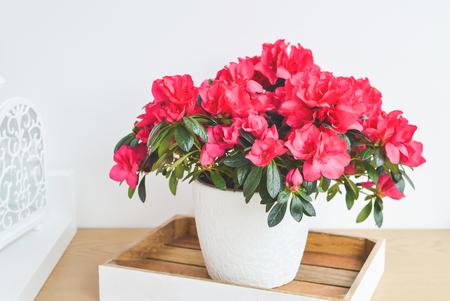 Photo for Azalea flowers in a pot. Balcony garden. Interior - Royalty Free Image