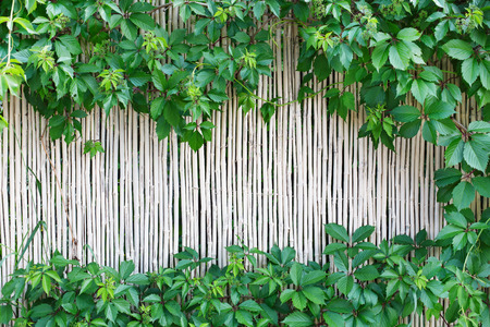 White natural bamboo fence texture background. Indian cane wall surface with grape leaves frame, green border with copy space in the middle