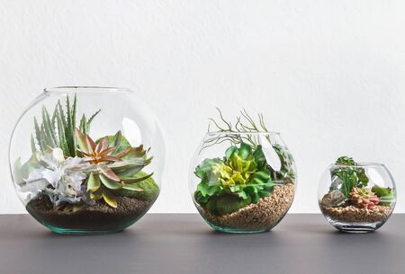 Photo pour Succulent plants in three florarium vases over grey wall, copy space - image libre de droit