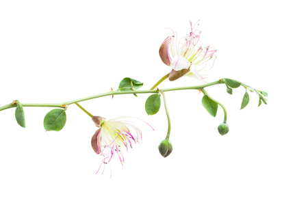 Capers plant isolated on white background. Capparis spinosa branch with flowers, leaves and bud