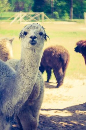 Portrait of alpaca living on alpaca farm in Poland. Photo with vintage mood