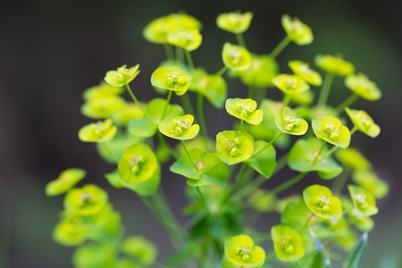 Spurge flowers (Euphorbia Amygdaloides). Beautiful green plant blooming in summer