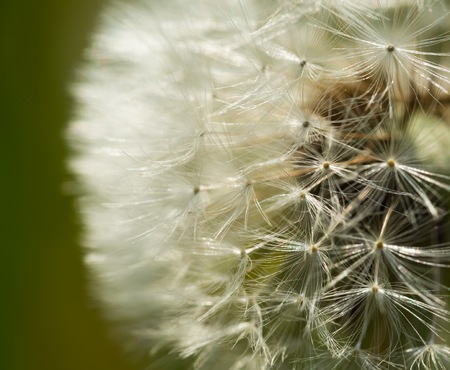 Dandelion seeds in close up. Natural seeds background