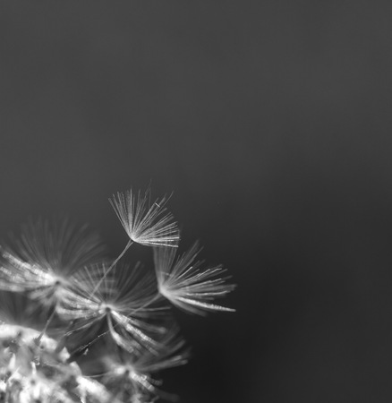 Dandelion seeds in close up. Natural plant background.