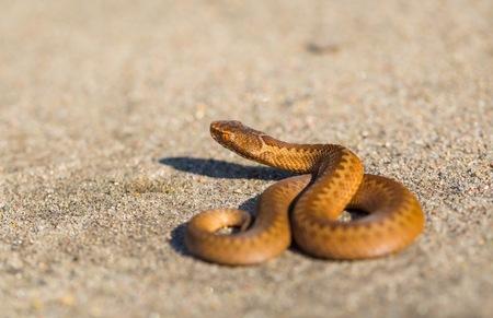 Adder (Vipera Berus) basking on sun on sandy road. Dangerous snake.