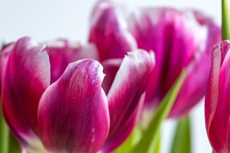 Beautiful two colored tulips close up on white background. Isolated spring flowers.