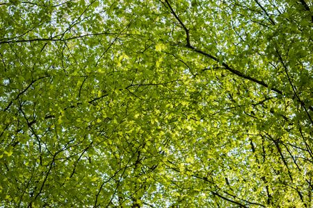 Photo pour Green tree canopy in spring with fresh leaves. View from below - image libre de droit