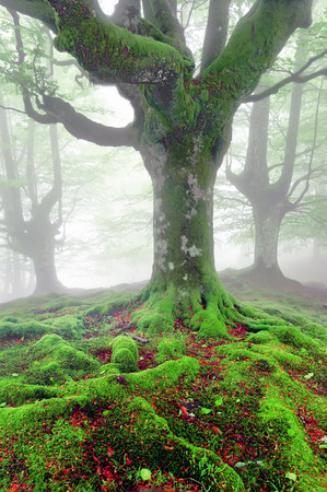 twisted tree roots with moss on foggy forest