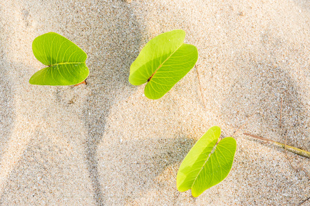 Ipomoea pes-caprae Sweet or Beach Morning Glory and Scientific Name Ipomoea Pes-caprae on a beach with sand background