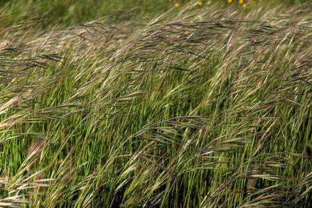 it is a macro of a field of barley