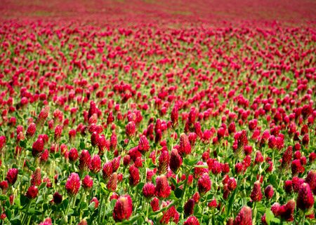 Photo pour A meadow full of Italian clover (Trifolium incarnatum) with a small depth of field and slightly blurred background - image libre de droit