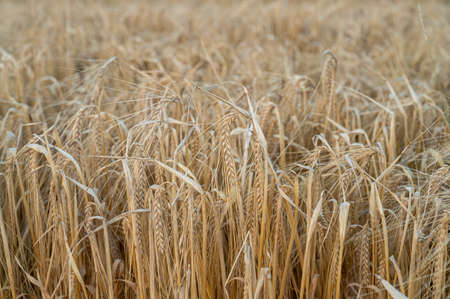 Photo pour A closeup of a rye field as the rye is golden and ready to be harvested during summer and early fall - image libre de droit