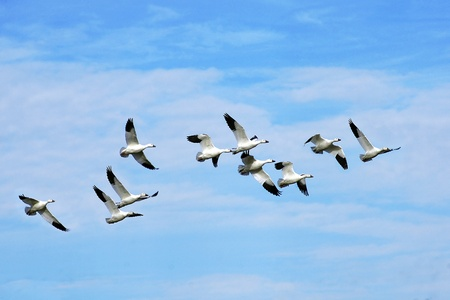 Beautiful snow geese flying off to the south in the blue sky during fall migration.