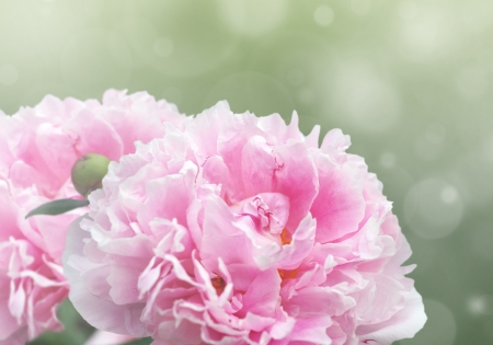 Photo for Beautiful dreamy floral background with pink peony flowers, bokeh and light effects. - Royalty Free Image