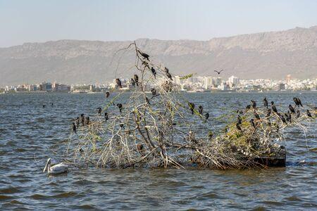 Foto de Migratory Cormorant Birds on Lake Anasagar in Ajmer. Rajasthan. India - Imagen libre de derechos